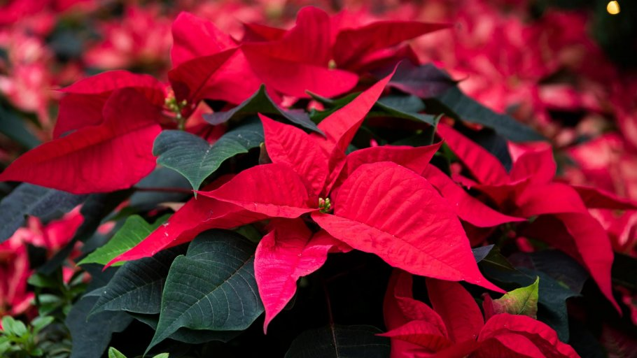 poinsettia wishes gardens by the bay, things to do december 2020