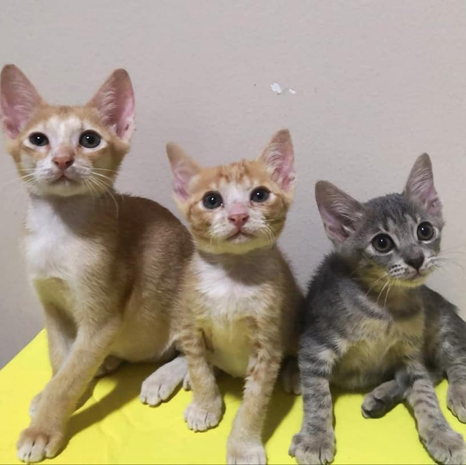 Kittens for adoption Singapore