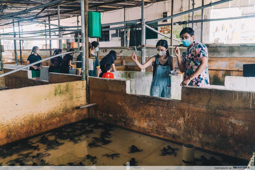 feeding frogs in a pen, jurong frog farm