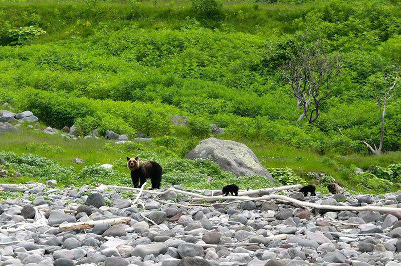 brown bears at Shiretoko