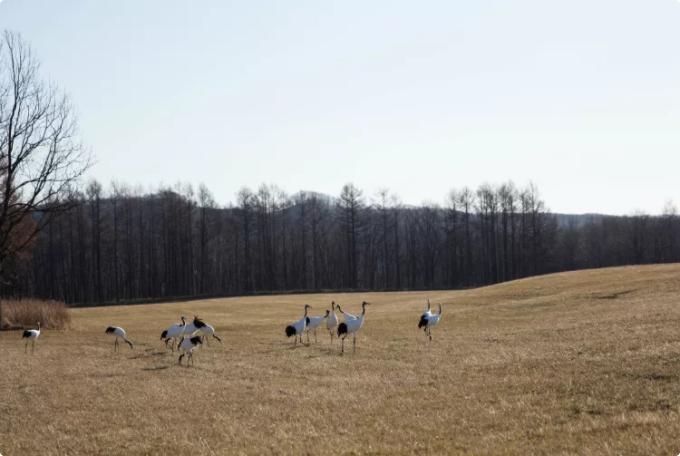 tanchos at the kushiro marsh