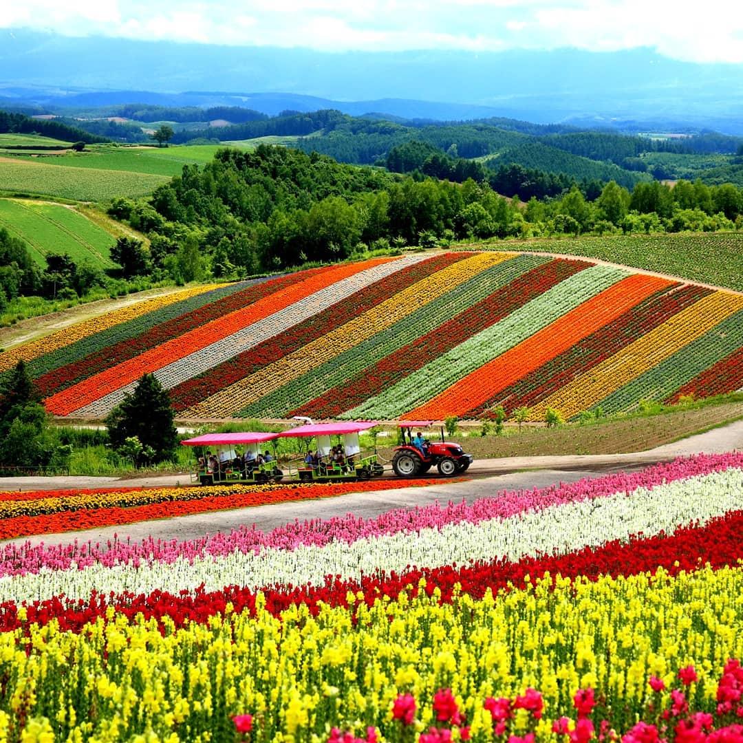 vibrant flower fields at tomita farm