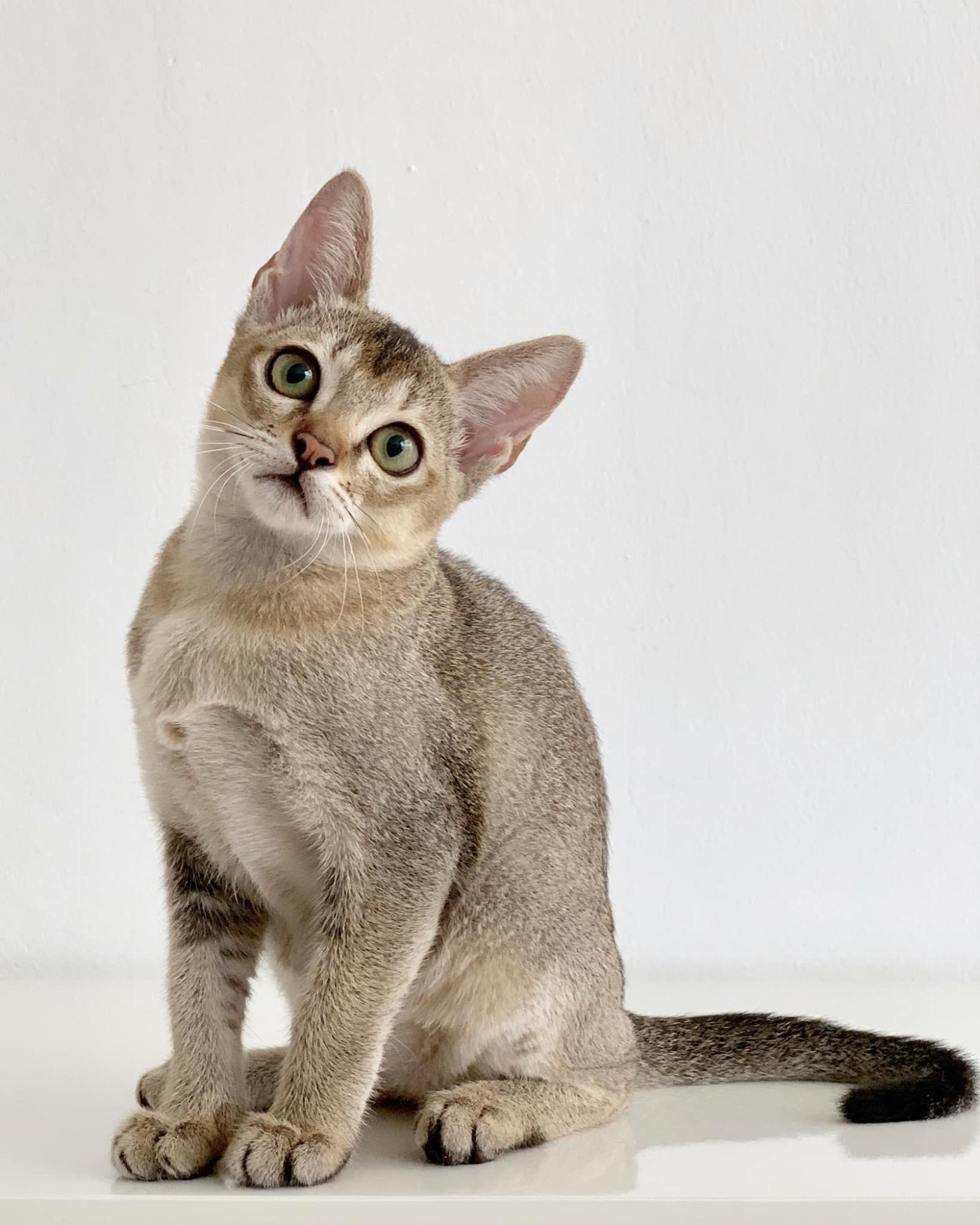 kucinta cat