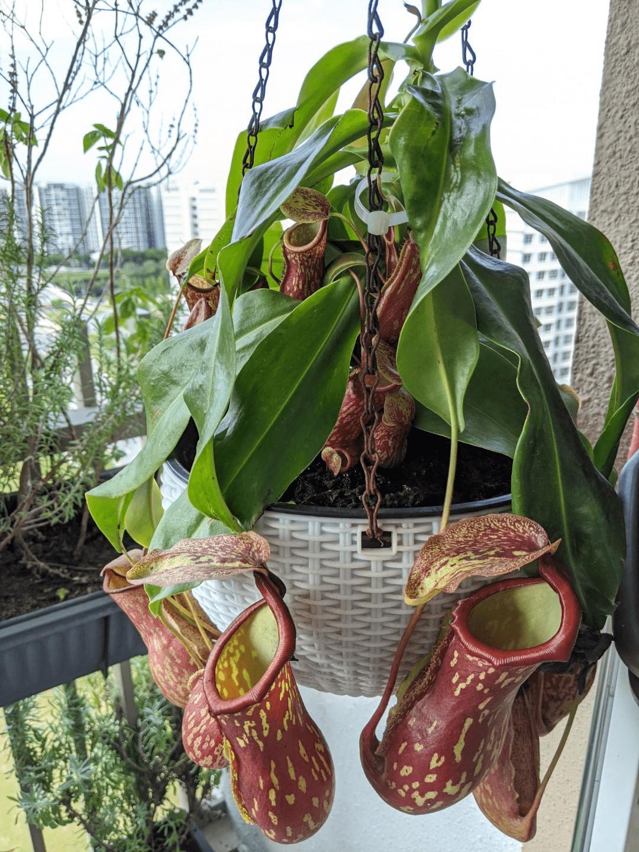 Ampullaria pitcher