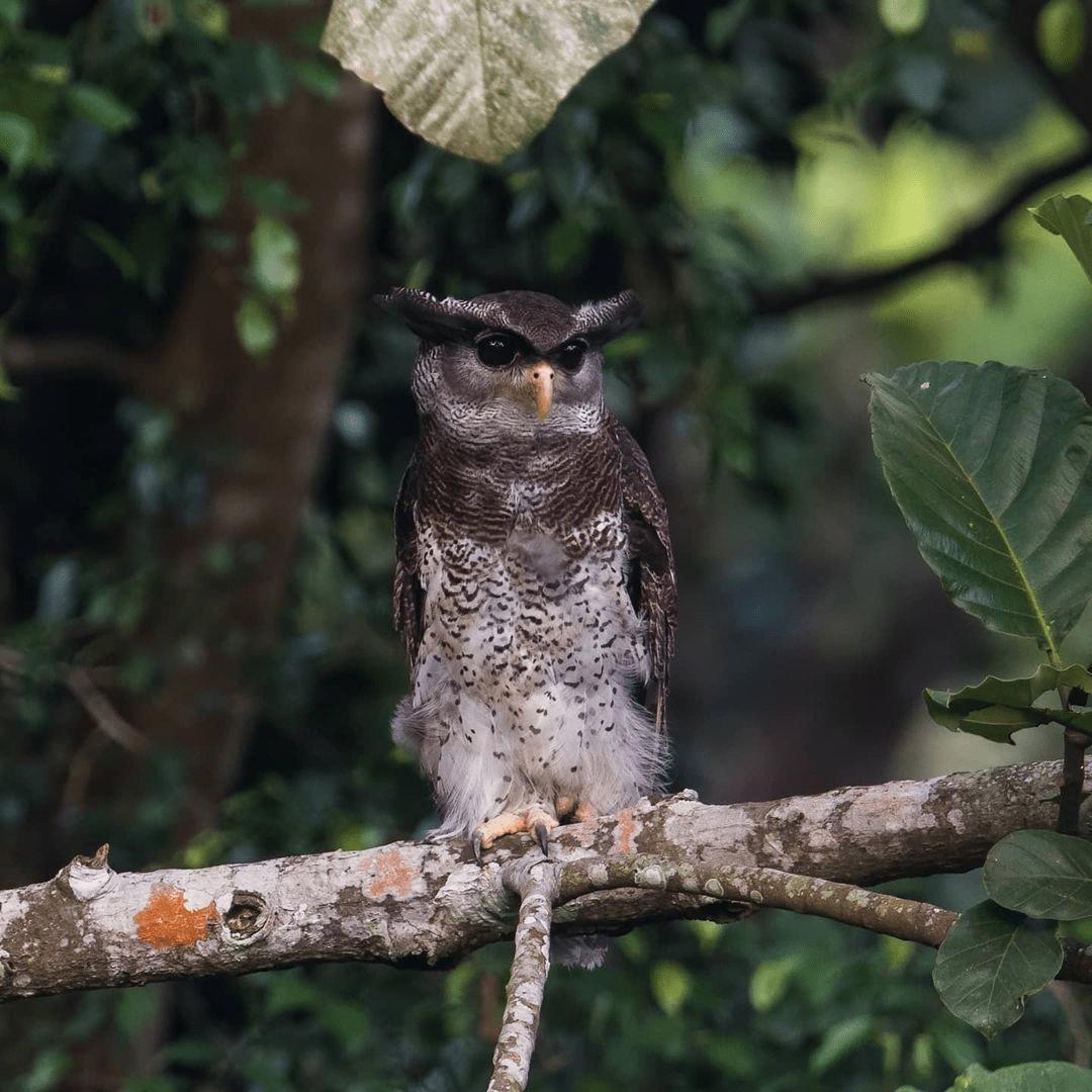 Owl at Singapore Quarry