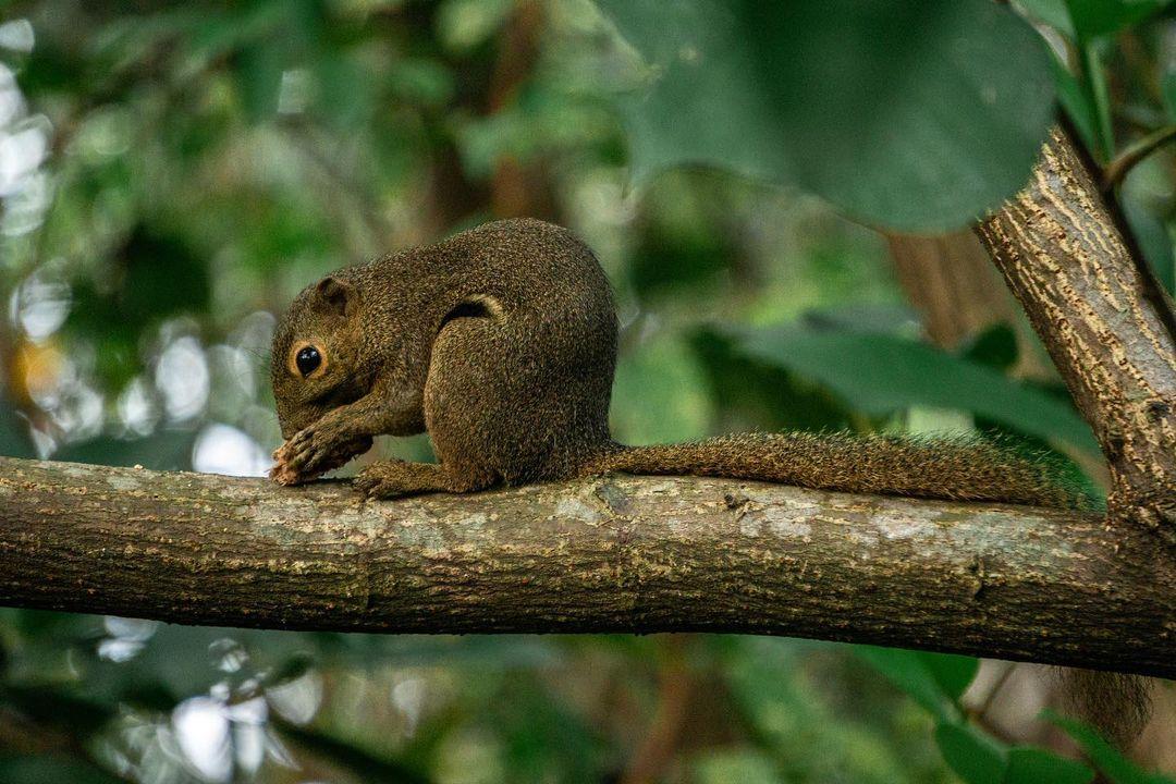 Berlayer Creek Boardwalk - squirrel