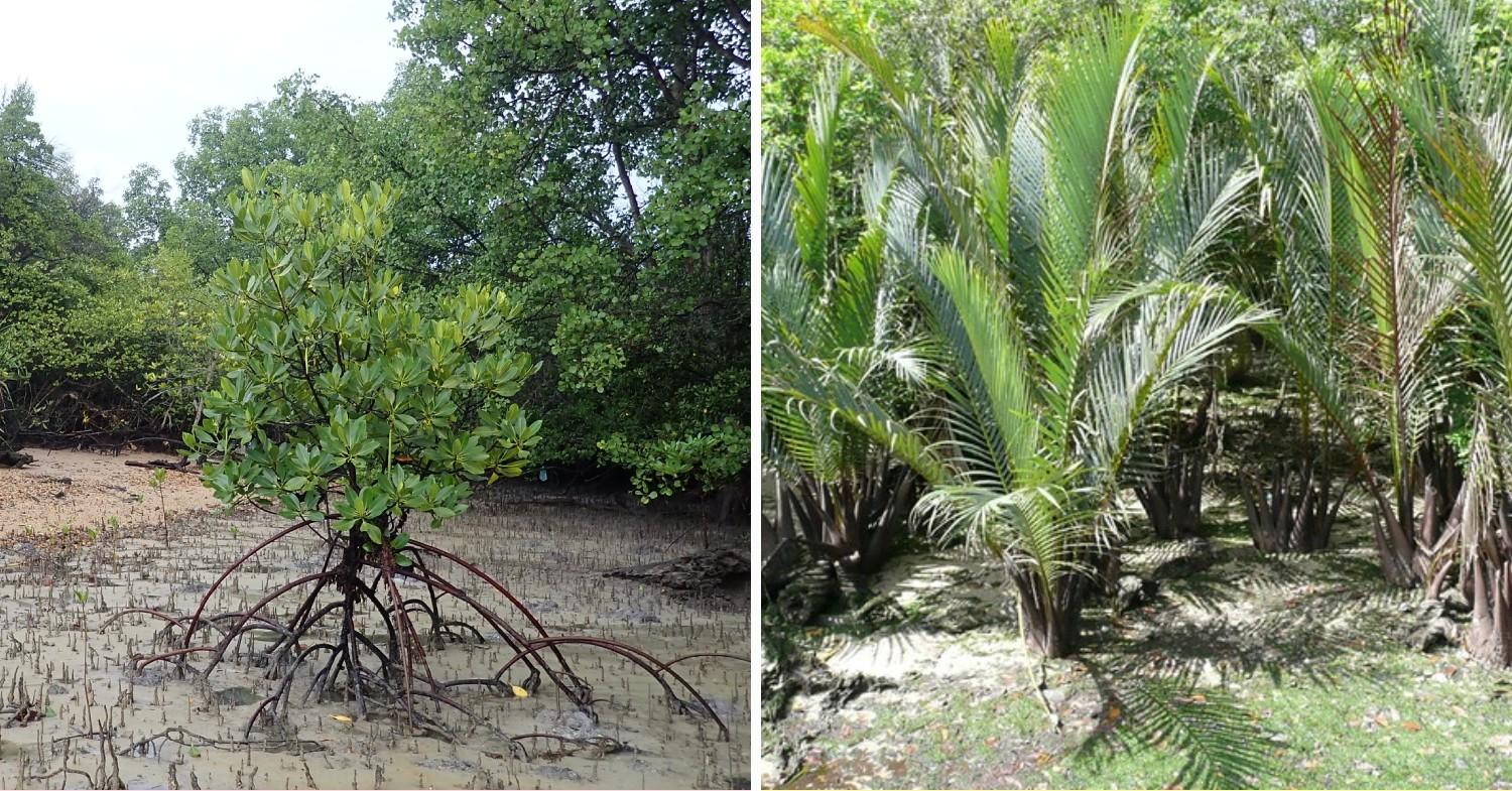 Bakau Pasir & Nipah Palm