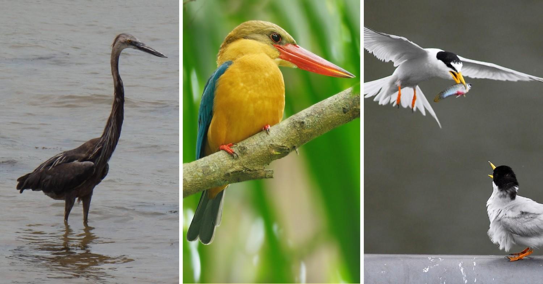Great-billed Heron, Stork-billed Kingfisher, Little Tern