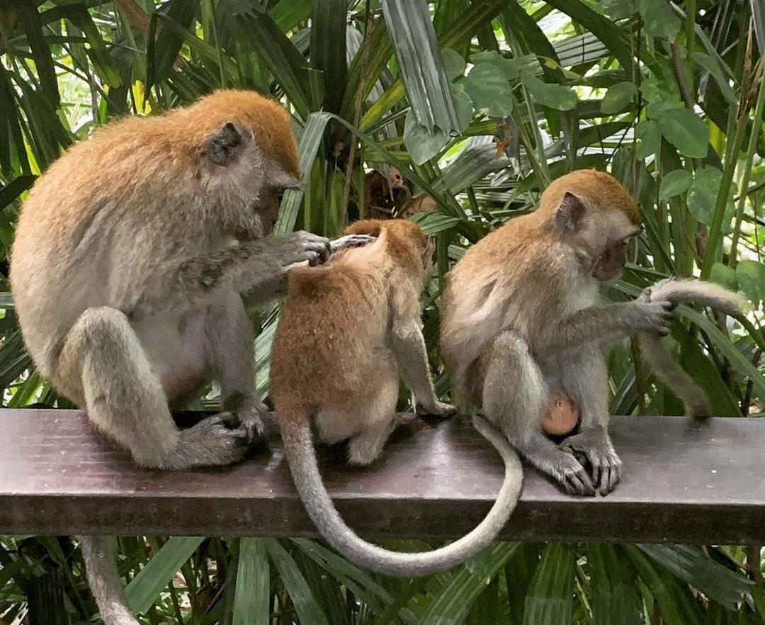 Berlayer Creek Boardwalk - monkeys