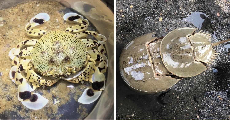 Berlayer Creek Boardwalk - Spotted Moon Crab & Coastal Horseshoe Crab