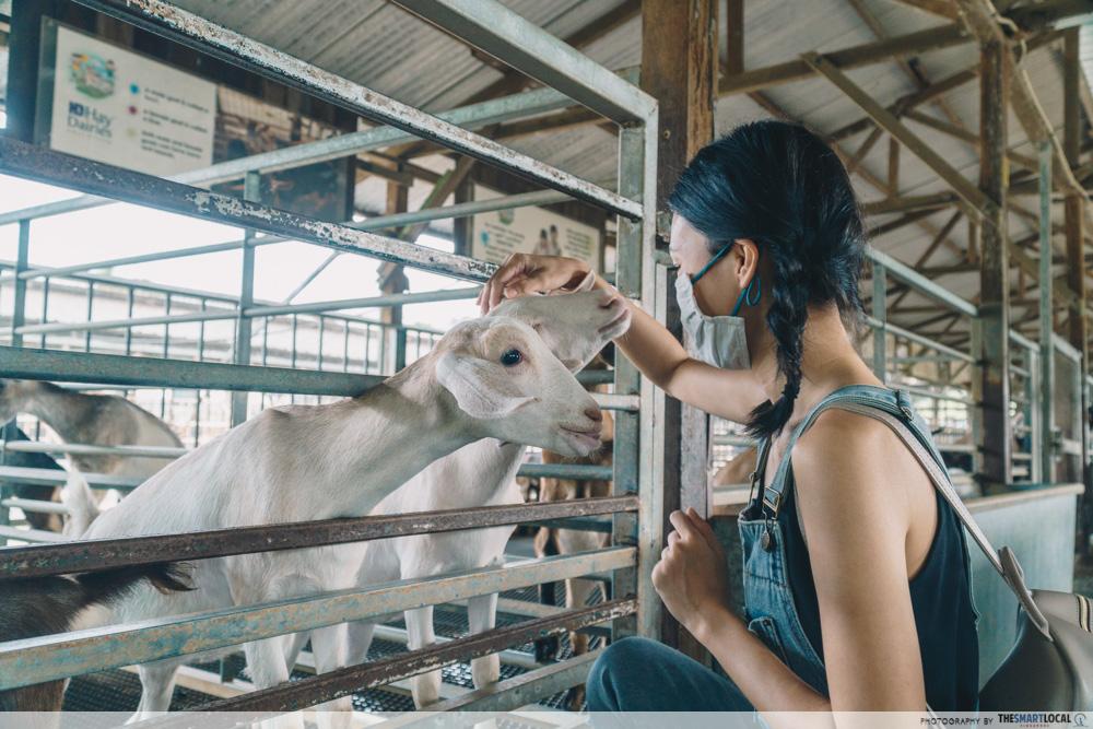singapore school excursion - hay dairies goat farm petting