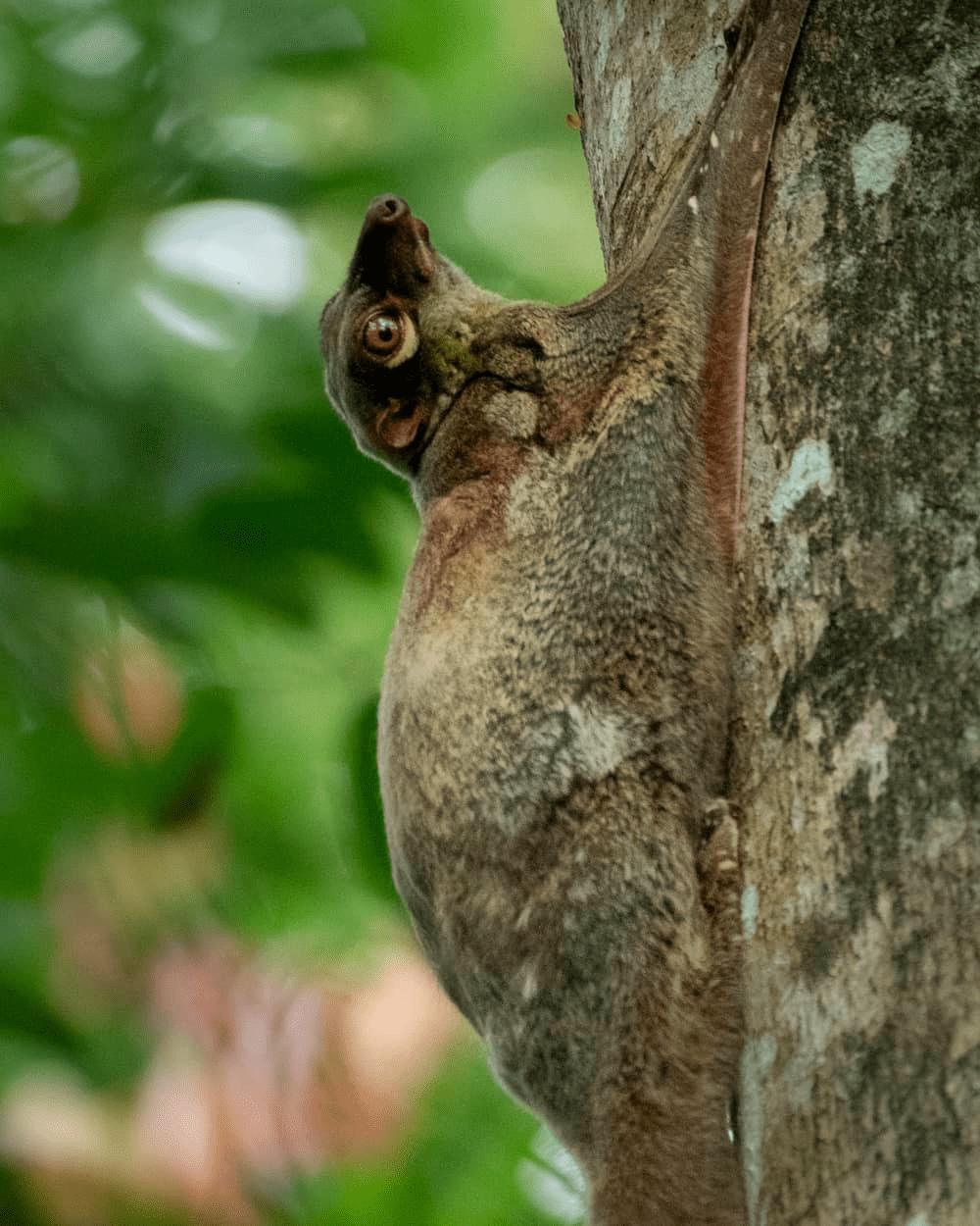 hindhede nature park - flying lemur