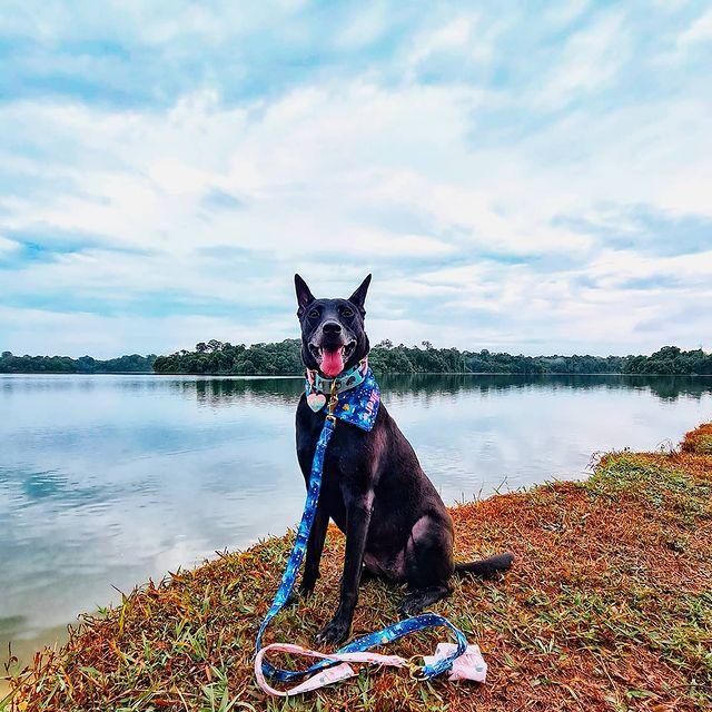 Josiemamasews dog with leash and bandana