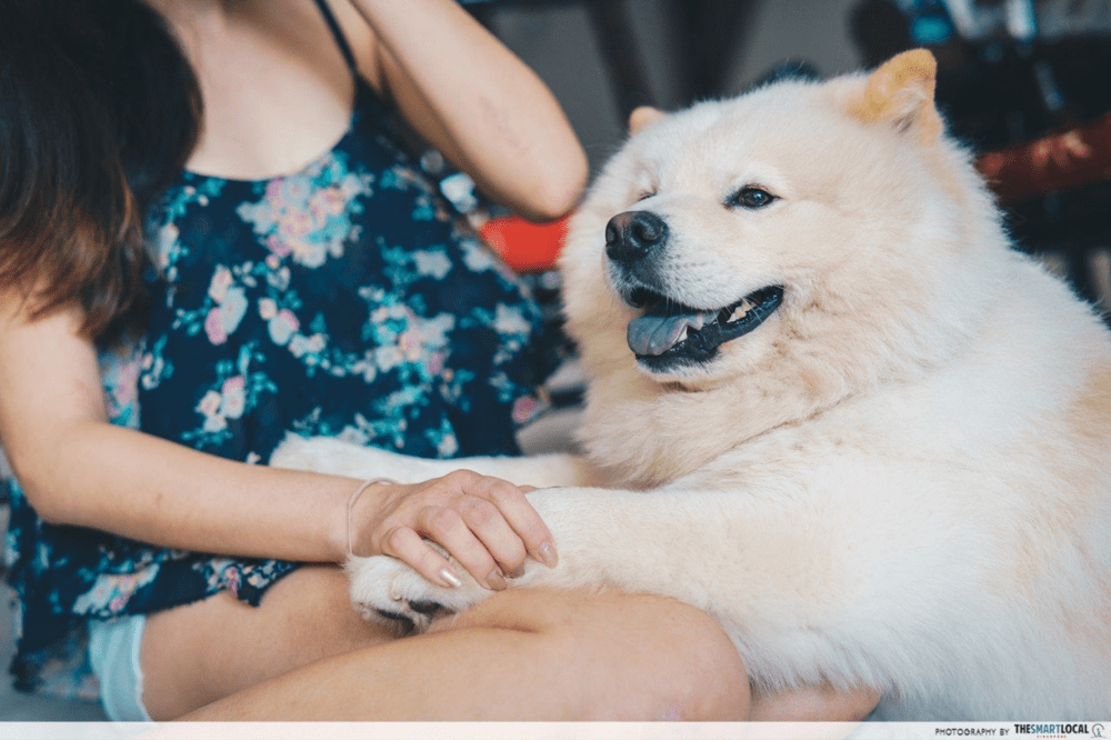 Chow Chow Dog - Pet Owners In Singapore