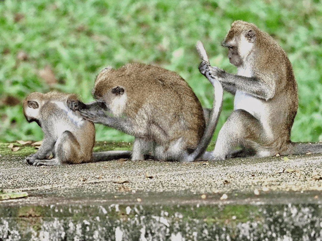 Upper Seletar Reservoir Park- long-tailed macaques -
