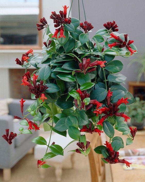 lipstick plant indoor flowering plants