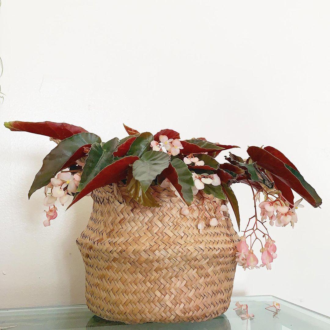 indoor flowering plants