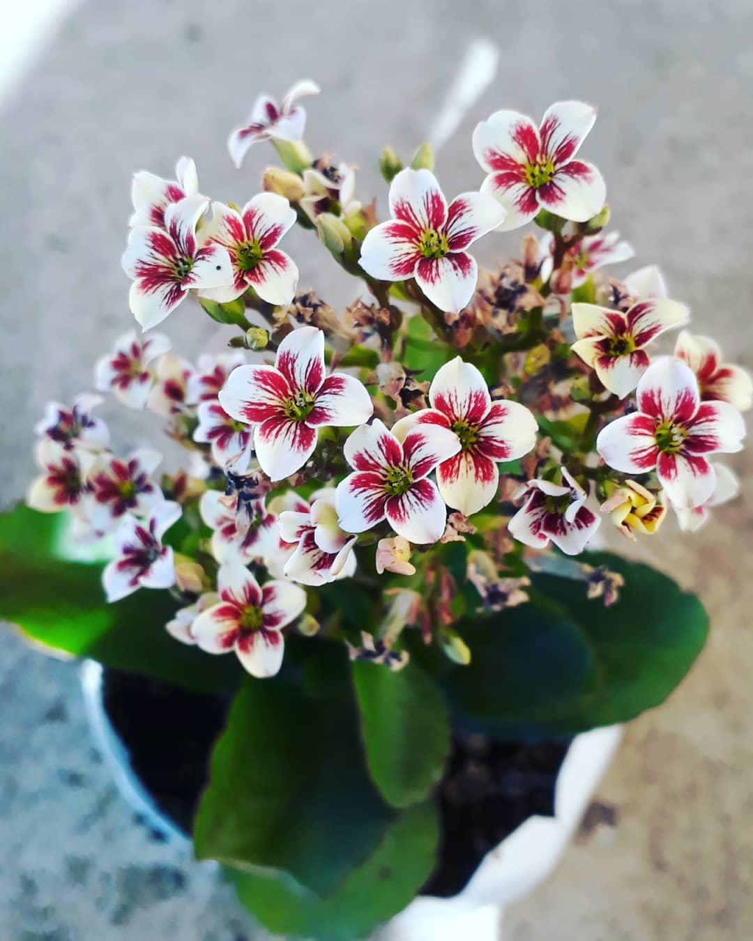 indoor flowering plants kalanchoe