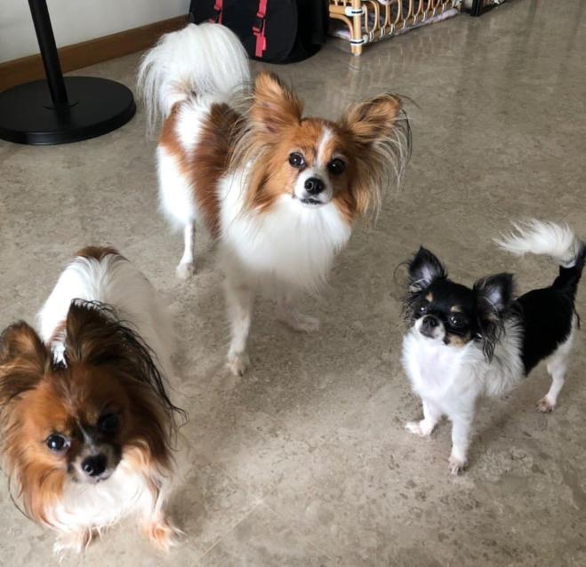 Singapore pets - three dogs