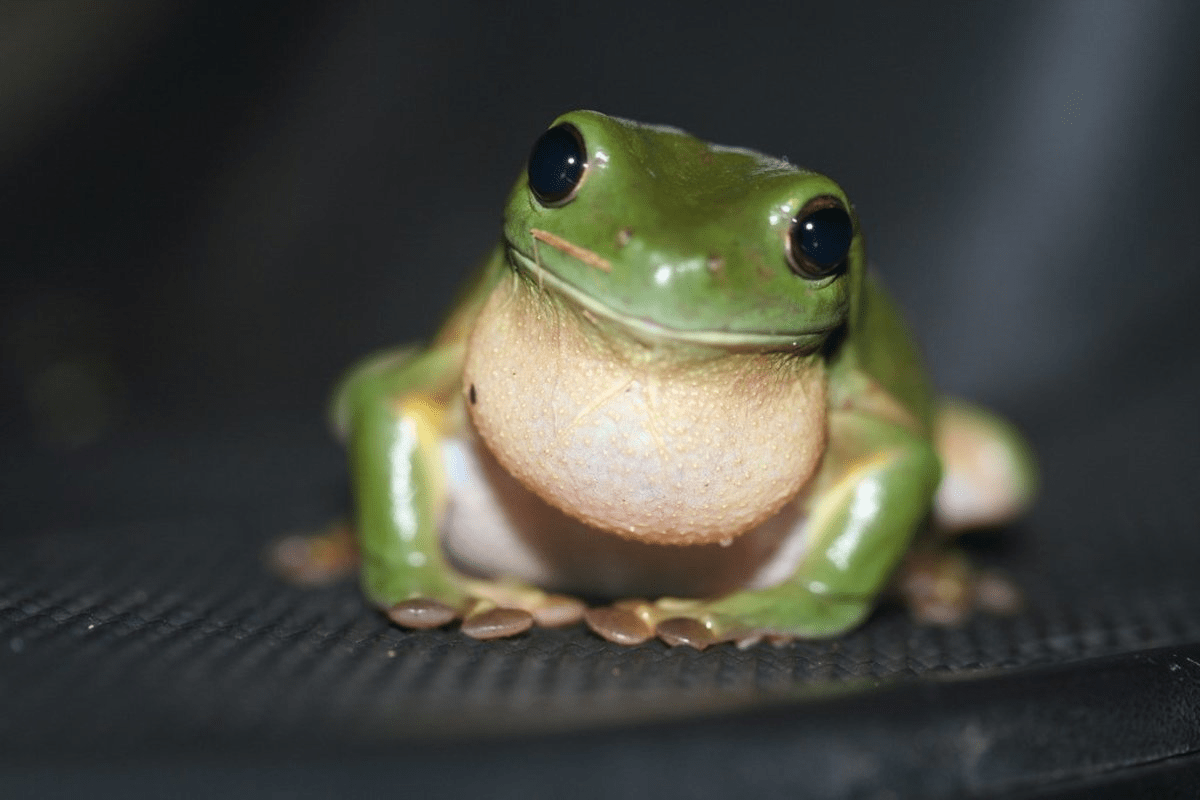 Legally Owned Pets In SG - Green Tree Frog
