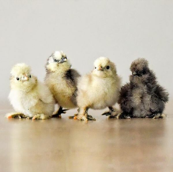 Legally Owned Pets In SG - Group of Baby Silkie Chicken