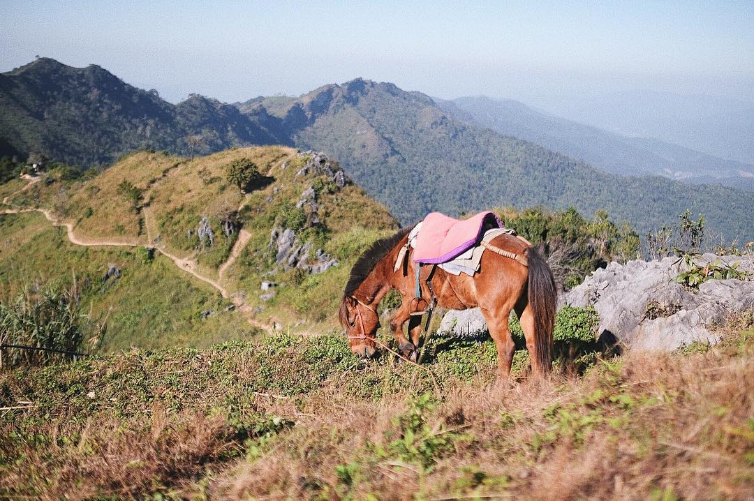 doi pha tang chiang rai airasia thailand cherry blossoms horse riding